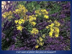 Plant De Lavande : plante lavande l usages du plante lavande lavande ~ Nature-et-papiers.com Idées de Décoration