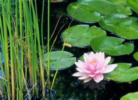how water lilies grow how to grow water lilies