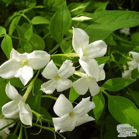 buy jasminum officinale common jasmine   uk
