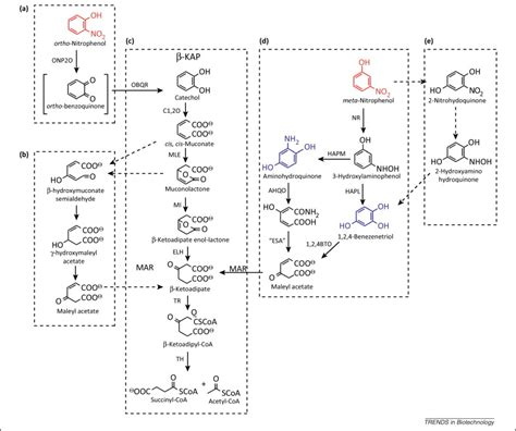 biotechnological opportunities    ketoadipate