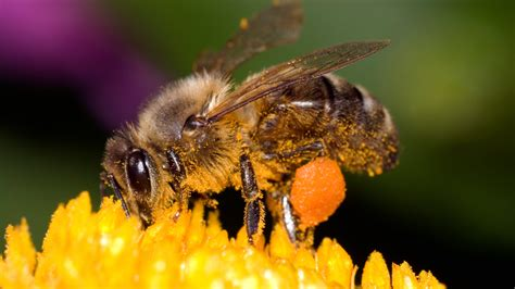 Bee Images Humans Are Spreading Deadly Bee Virus Study Says The