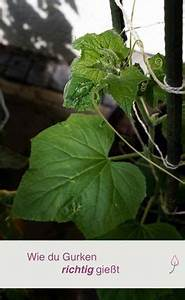Gurken Anbauen Im Topf : gurken einfach im topfgarten anbauen bei mir effektiver als im garten garten balkon ~ Frokenaadalensverden.com Haus und Dekorationen