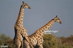 Giraffe Mating Stock Photos and Pictures | Getty Images