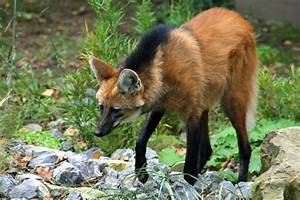 Maned Wolf Pee Demystified   WIRED