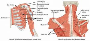 Muscles of the Pectoral Girdle and Upper Limbs · Anatomy ...