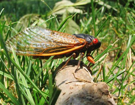 17 year cicada brood ii