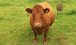 Cow Mysteriously Pregnant After No