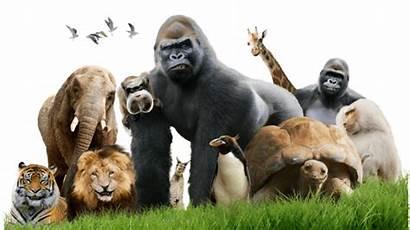 Zoo Animals Cbbc Animal Gorilla Lowland Bbc
