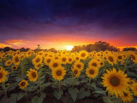sunflower farm field sunflower  sunset dark clouds
