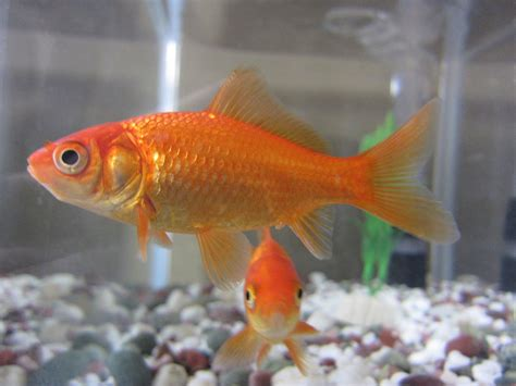 Common Goldfish Types