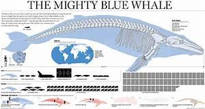 Blue Whale Skeleton Diagram