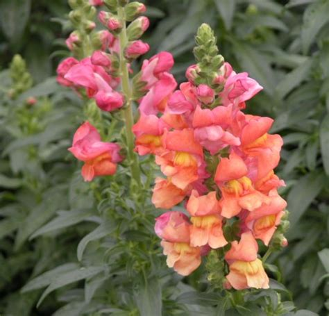 snap dragons good witches magickal flowers and herbs snapdragon