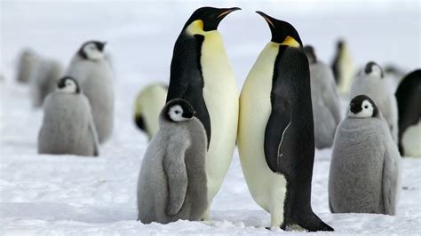 pinguine kaiserpinguine voegel natur planet wissen
