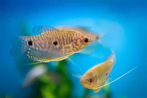 gourami types       gourami fish