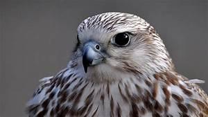 Falcon Wallpapers HD   PixelsTalk.Net  Falcon