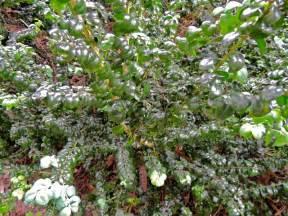 PlantFiles Pictures: Common Boxwood American Boxwood