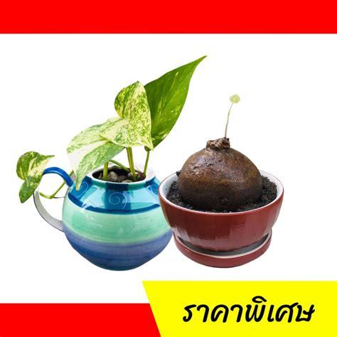 กระถางต้นไม้ | กระถางแคสตัส |กระถางเซรามิค | Shopee Thailand