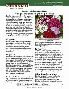 Instructions For Growing Dianthus