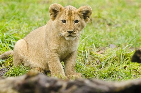 Help Name 2 Lion Cubs At Seattle's Woodland Park Zoo The