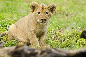 Help name 2 lion cubs at Seattle's Woodland Park Zoo | The ...