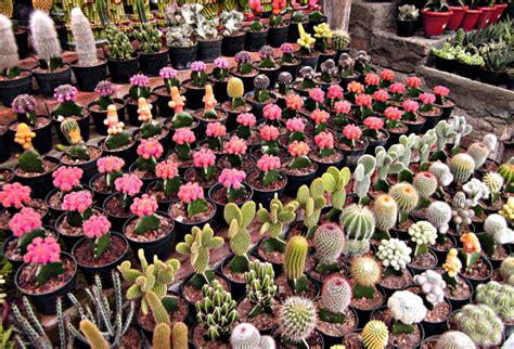 kaktus hias beda nama beda keindahan beda pula