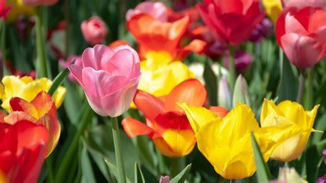 Garten Tulpen Pflanzen by Tipps Tulpen Im Garten Richtig Pflanzen Und Pflegen