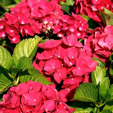 hydrangea macrophylla teller red deciduous shrub
