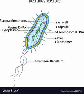 Structure Of A Bacterial Cell Cartoon Royalty Free Vector