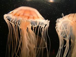 Jellyfish Wallpapers | Fun Animals Wiki, Videos, Pictures ...  Jellyfish