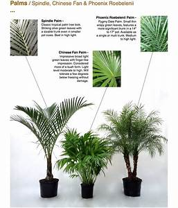 Palms / Spindle, Chinese Fan & Phoenix Roebelenii ...