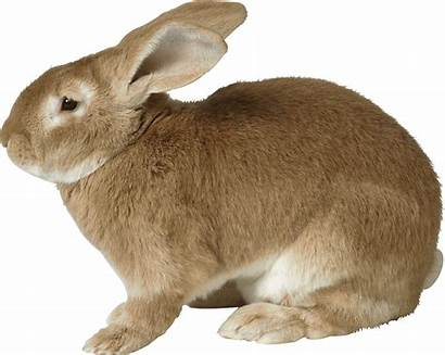 Rabbit Sad Brown Transparent Animals Purepng