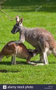 Red Kangaroo Macropus rufus. Female with well grown Joey ...