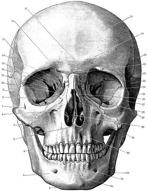 front   skull clipart
