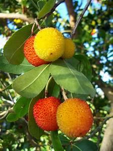 Arbutus unedo - Strawberry tree