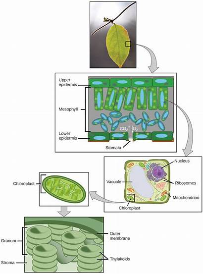 Photosynthesis Leaf Cells Biology Figure Carry Plants