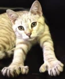 polydactyl cat polydactyl cats felines with toes facts mission