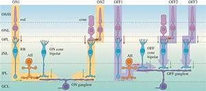 Schematic Wiring Diagram Of The Mammalian Retina