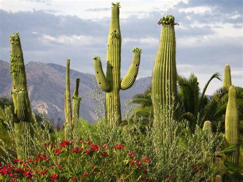 Carnegiea gigantea - Saguaro, Giant Cactus | World of ...