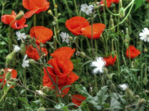 growing poppies poppies growing wild poppies etc pinterest