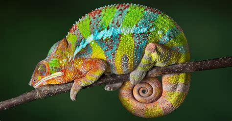 chameleons changing colors this surprising new discovery will change what you