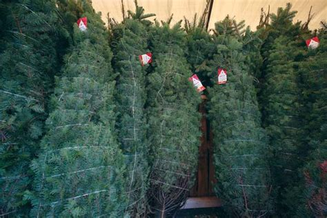 nordmann fir christmas tree home depot get a whiff of news sports news