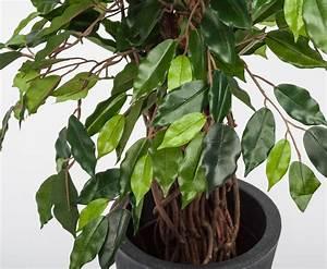 Ficus Benjamini Verliert Alle Blätter : ficus benjamini multitrunk g nstig shoppen ~ Lizthompson.info Haus und Dekorationen