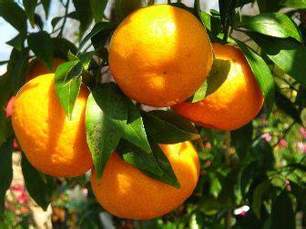 coltivazione del mandarino albanesiit