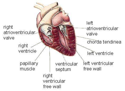 cardiovascular system   dog