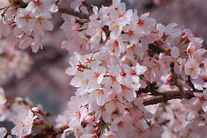 Korean Cherry Blossoms – The Sajin
