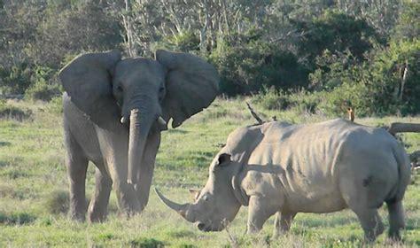 rhino charges elephant  amazing