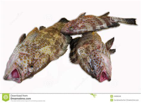 grouper fresh fish fillet background healthy sea food
