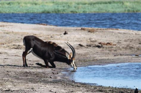 south africa  sable buck kneeling  drink photo
