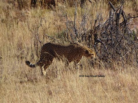 cheetah ghost question game