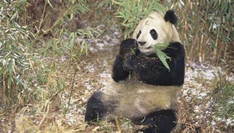 giant pandas   food animals momme